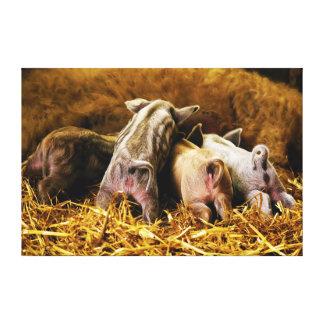 Four Baby Piglet Mangalitsa Hogs Showing Butts Canvas Print