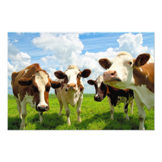 Four chatting cows photo print