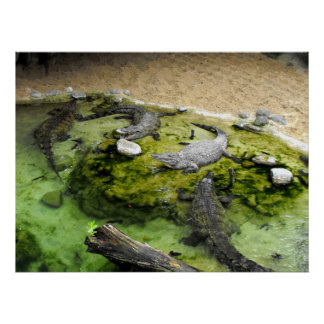 Four crocodiles in Fuengirola zoo Poster