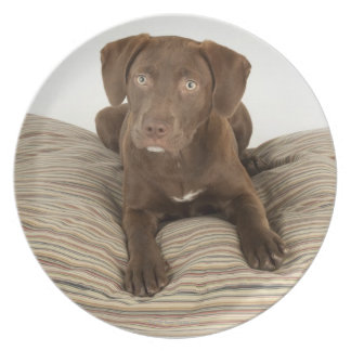 Four-Month-Old Chocolate Lab Puppy on Pillow Plate