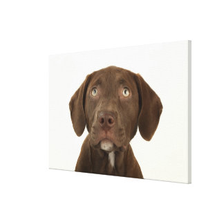 Four-Month-Old Chocolate Lab Puppy Portrait Canvas Print