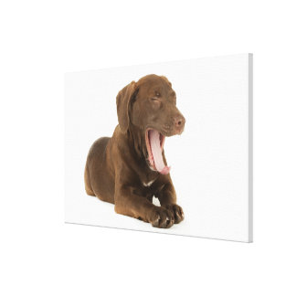 Four-Month-Old Chocolate Lab Puppy Yawning Gallery Wrap Canvas