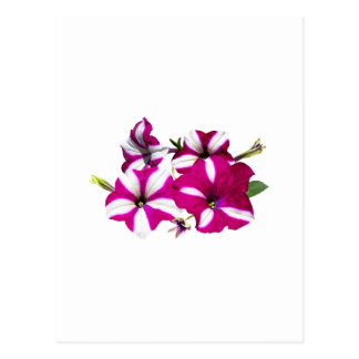 Four Red and White Petunias Postcard