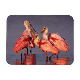 Four Roseate Spoonbills (Ajaia ajaja) at Dawn Magnet