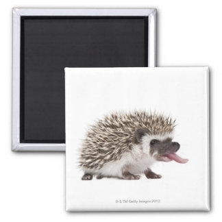 Four-toed Hedgehog - Atelerix albiventris Magnet
