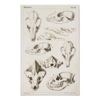 Fox and Hyena Skulls Veterinary Anatomy Print