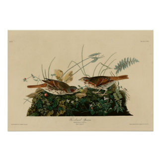 Fox colored Sparrow Poster
