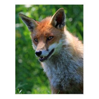 fox red beautiful photo portrait postcard