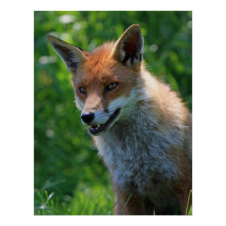 Fox red beautiful photo portrait print, poster