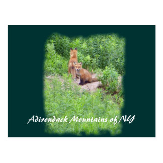Foxes, Adirondack Mountains of NY Postcard