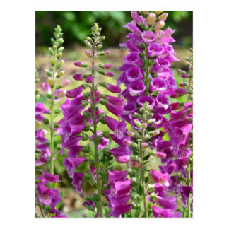 Foxglove Flowers Postcard