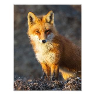 Foxy Stare Photo Print