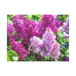 Fragrant lilac bush. canvas print