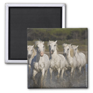 France, Camargue. Horses run through the 2 Magnets