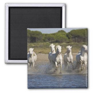 France, Camargue. Horses run through the estuary 2 Square Magnet