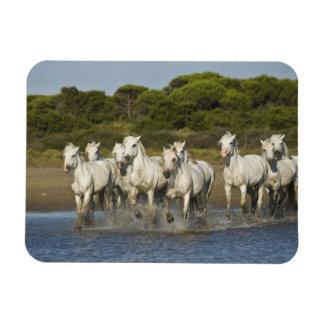 France, Camargue. Horses run through the estuary 3 Rectangular Photo Magnet