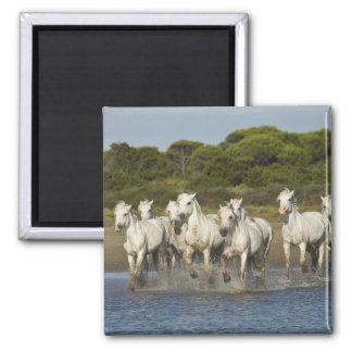 France, Camargue. Horses run through the estuary 3 Square Magnet