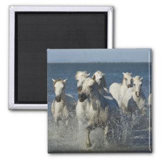 France, Camargue. Horses run through the estuary 4 Magnet