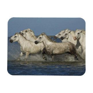 France, Camargue. Horses run through the estuary Rectangular Photo Magnet