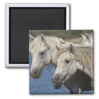 France, Camargue. Horses run through the Square Magnet