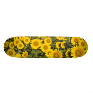 France, Provence, Valensole. Field of Skate Deck