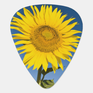 France, Provence, Valensole. Sunflowers stand Pick