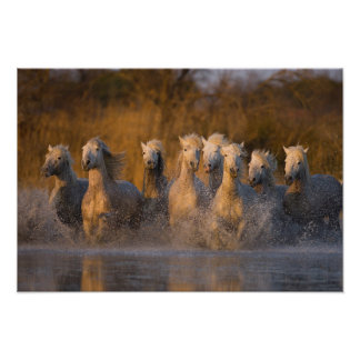 France, Provence. White Camargue horses Poster
