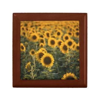 France, Vaucluse, sunflowers field Keepsake Boxes