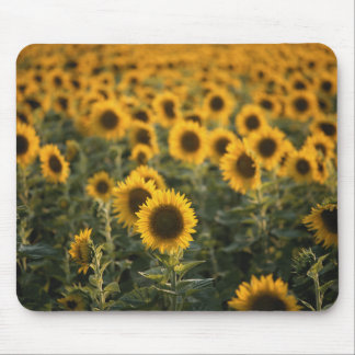France, Vaucluse, sunflowers field Mouse Pad