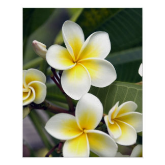 Frangipani flower Cook Islands Poster