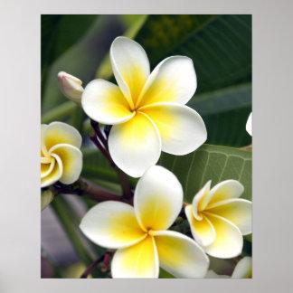 Frangipani flower Cook Islands Poster