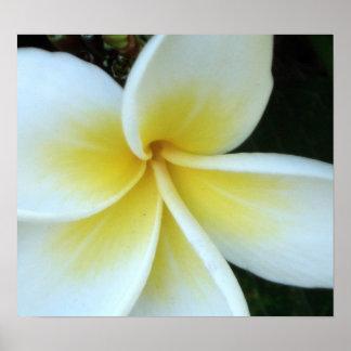 Frangipani flower poster