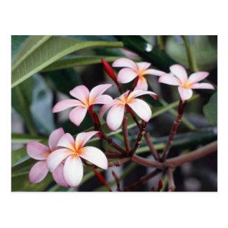 Frangipani Flowers Postcard