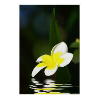 Frangipani In the Water Poster