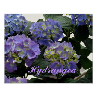 French Baby Blue Hydrangeas Posters