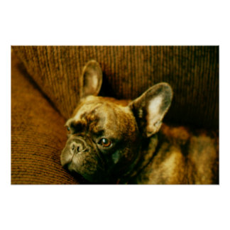French Bulldog Photo Poster