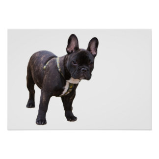 French Bulldog poster, print, gift idea Poster