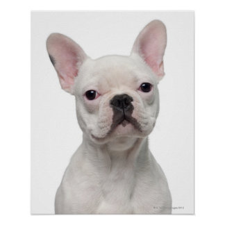 French Bulldog Puppy (5 months old) Poster