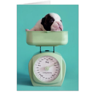 French bulldog puppy checking weight. card