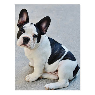 French Bulldog Puppy Dog Post Card