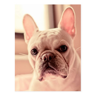 French Bulldog Puppy Postcard