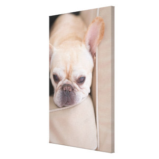 French bulldog resting on sofa canvas print