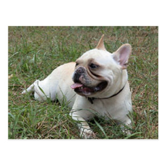 French Bulldog white full.png Postcard