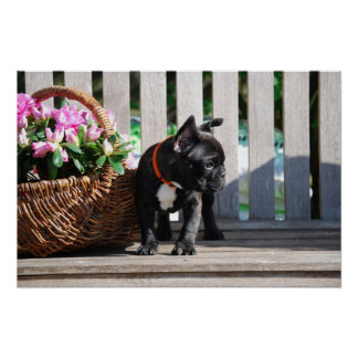 French Bulldogge poster