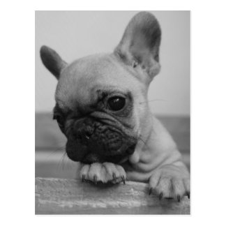 Frenchie puppy postcard