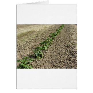 Fresh basil plants growing in the field card