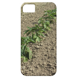 Fresh basil plants growing in the field case for the iPhone 5