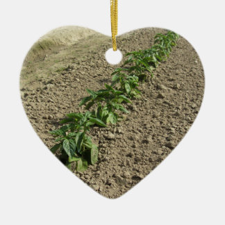 Fresh basil plants growing in the field ceramic ornament