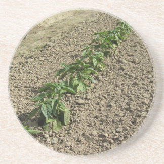 Fresh basil plants growing in the field coaster