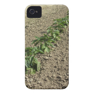 Fresh basil plants growing in the field iPhone 4 covers